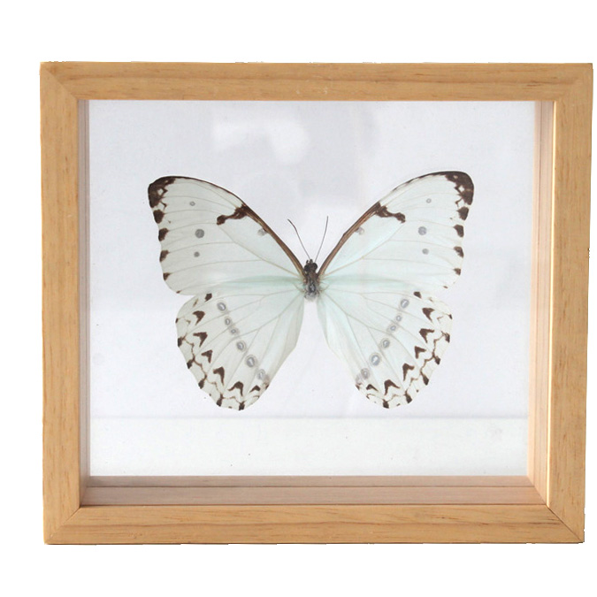 White Butterfly in Frame